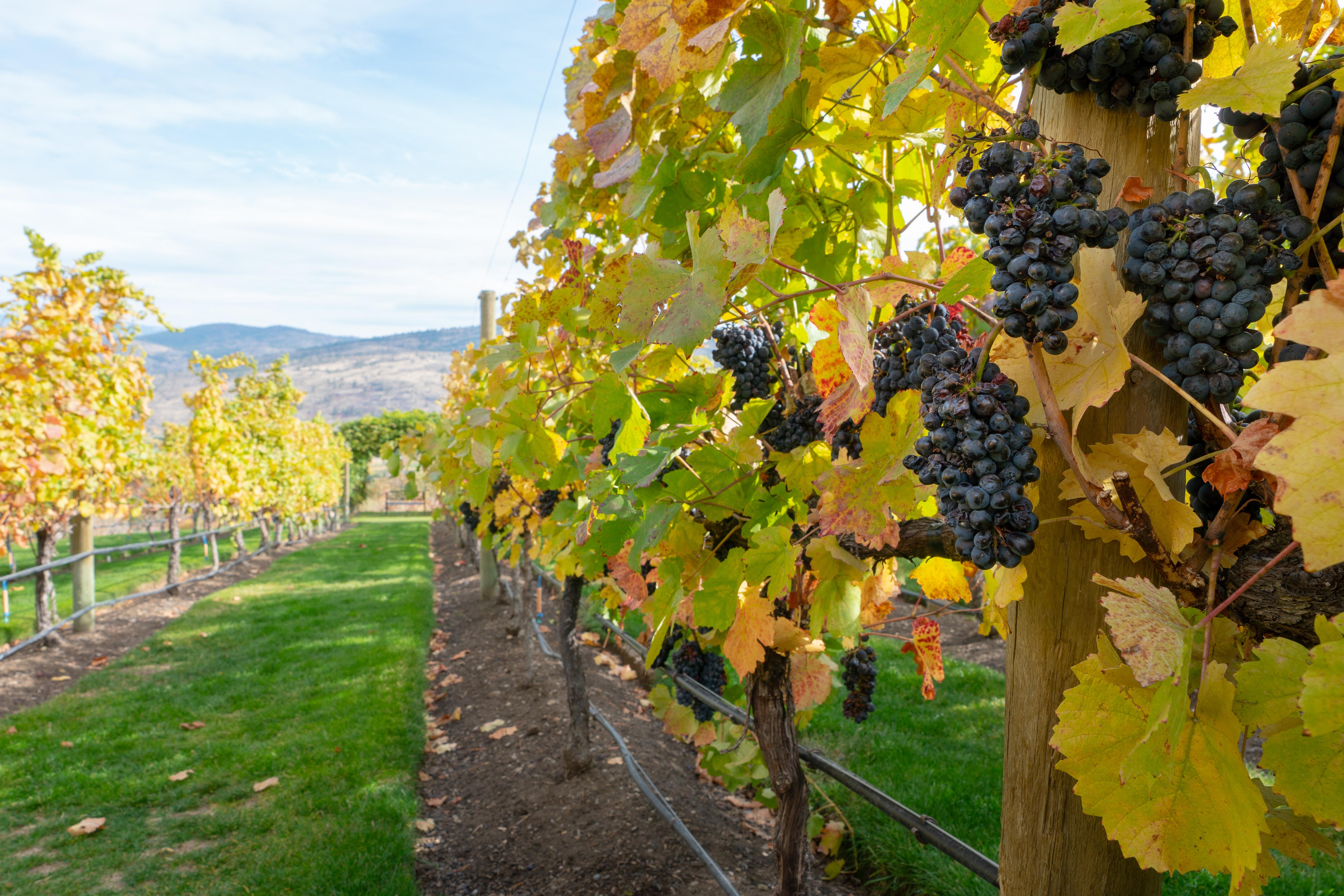 A vineyard in the fall in Osoyoos